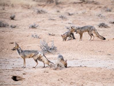 Foxes- Kgalagadi Transfrontier Park