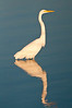 Wading Great Egret at Ft George Inlet #1 10/14