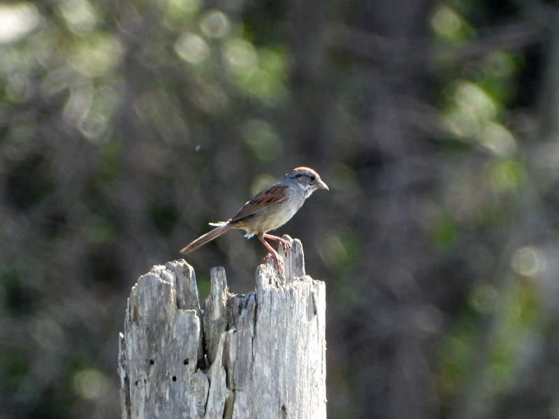 Swamp Sparrow  (Photo by Don McLeod)