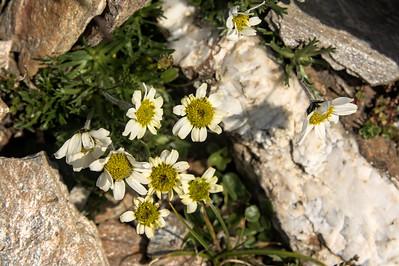 Arctic daisy