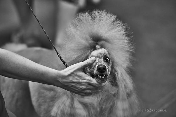 Wystawa Psów Rasowych / Dog Show / Kraków