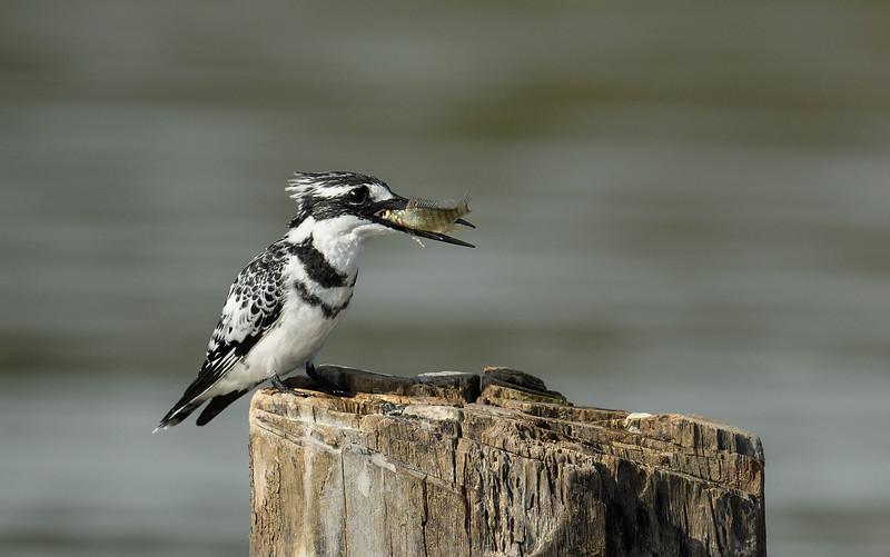 Pied-kingfisher-catch-lake-naivasha.jpg