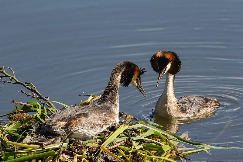 Great Crested Grebe Displaying