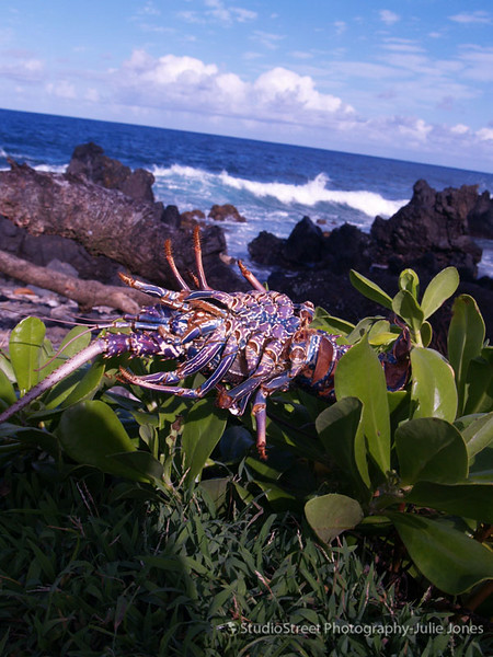 Maui Lobster.jpg
