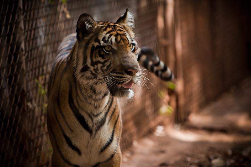 tiger3.jpg