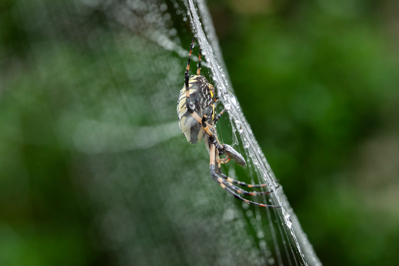 20180910 026 golden orb spider.jpg