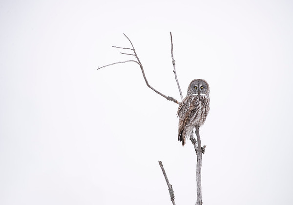 Great Gray Owl -SM