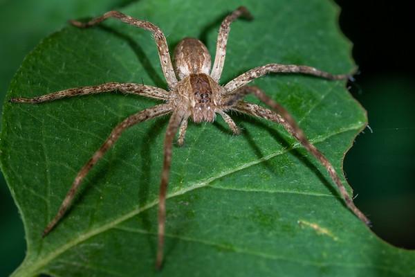 Pisaurina mira - American nurseryweb spider (USA)