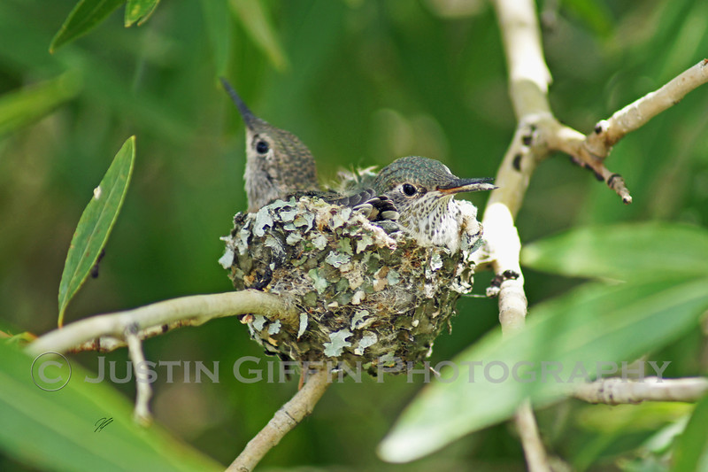 Baby Hummingbirds 2.jpg