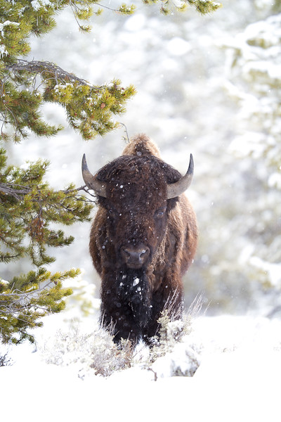 Bison in snow Yellowstone National Park WY IMG_0238.jpg