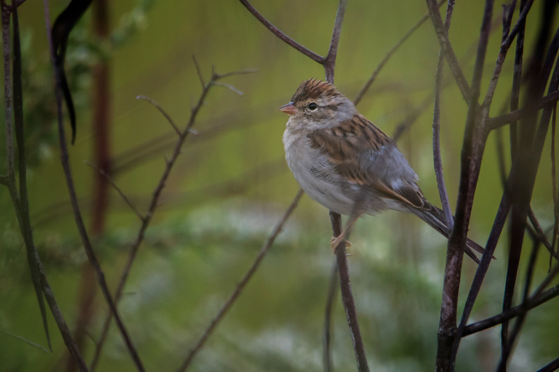 9.6.18 - Blackburn Creek Fish Nursery: Chipping Sparrow