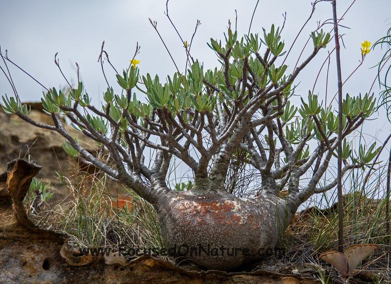 Mini Baobab