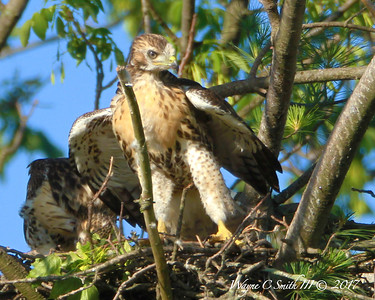 Juvenile Red Tail Hawks in the Nest
