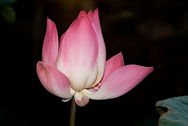 Lotus Open 1c 2.jpg