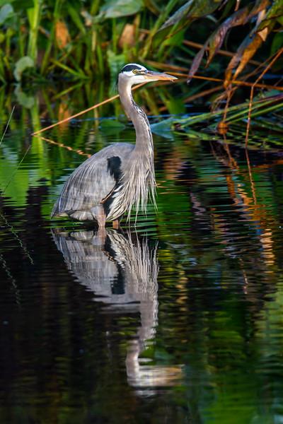 Great Blue Heron in Water-5680.jpg
