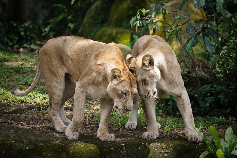 Lioness, Singapore Zoo