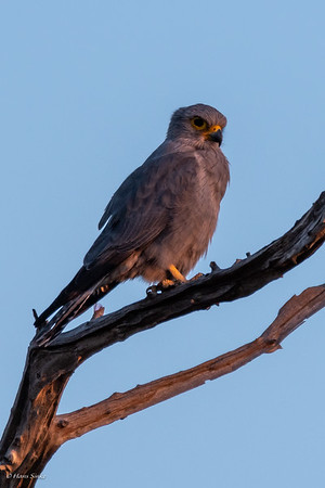 Kestrel, Grey (monotypic)