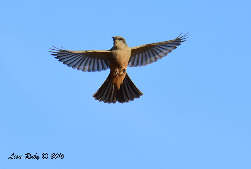 Say's Phoebe - 10/09/2016 - Sabre Springs