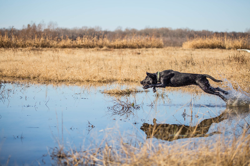 Keith Allen's black lab named May training.
