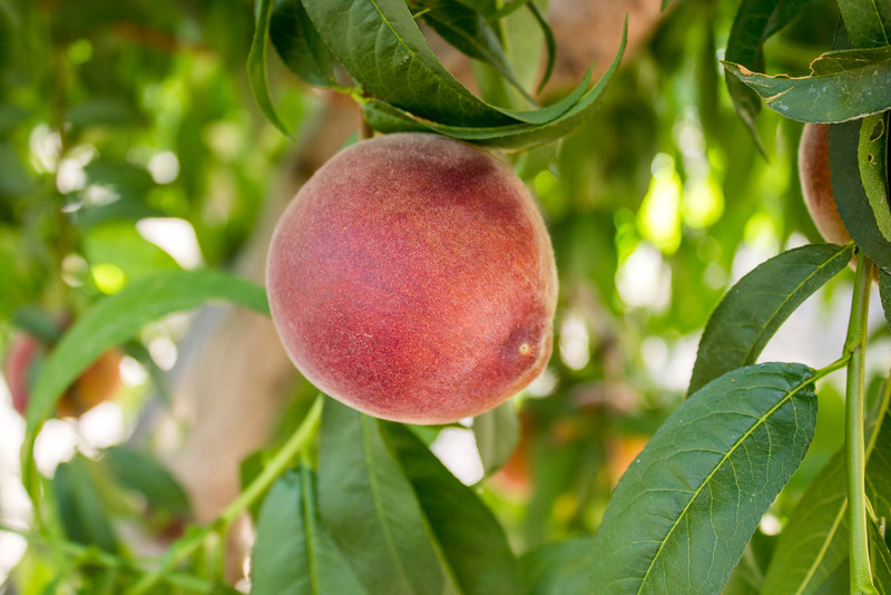 Earli Rich Yellow Peach
