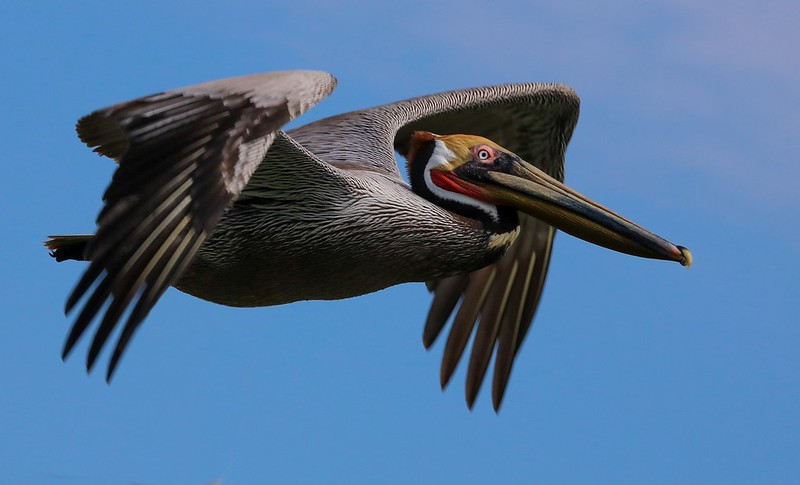Close pelican flyby.