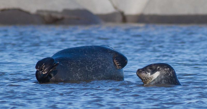 Harbor Seal Cape Merry Hudson Bay Churchill Manitoba Canada IMG_0594.jpg