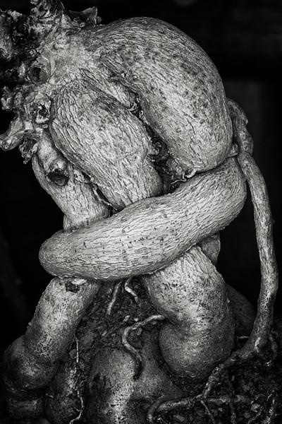 caudex roots