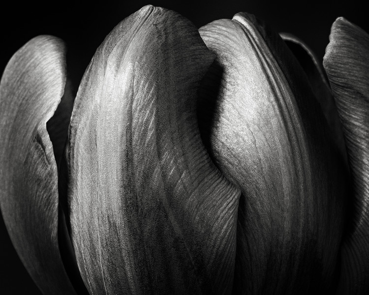 purple-tulip-03.jpg