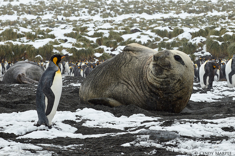King Penguin and Elephant Seal bull