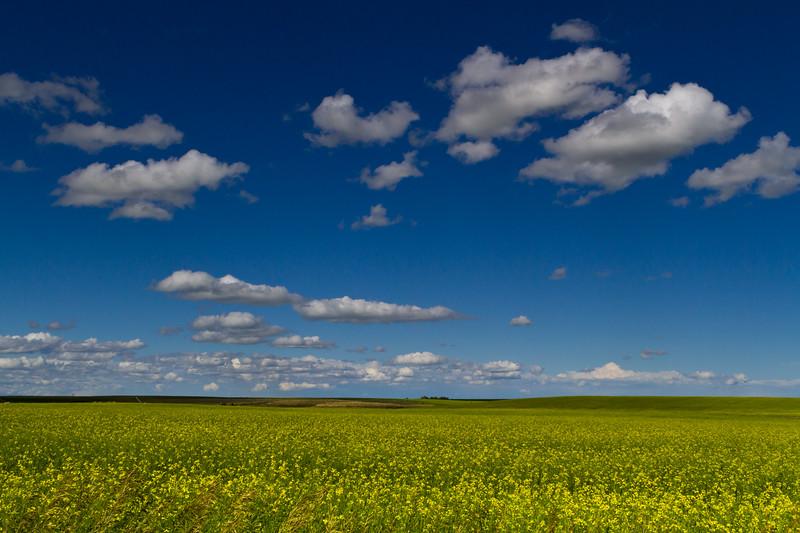 Alberta Mustard Field-110722-6625.jpg
