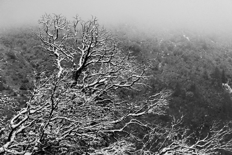 flocked tree IDYLLWILD bw.jpg