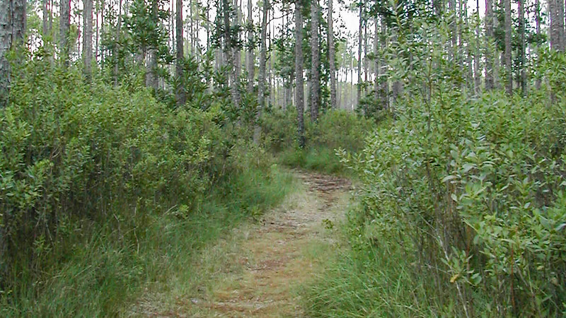 Gallberry and loblolly bay trees