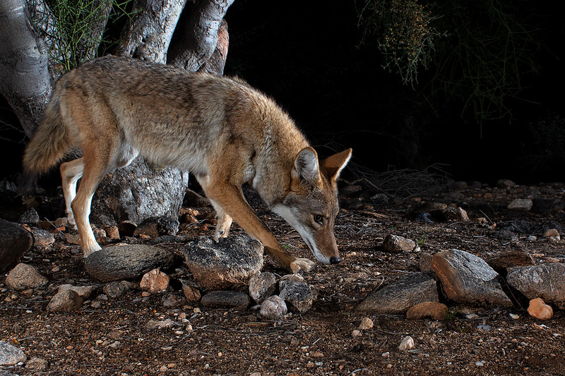 coyote411.jpg