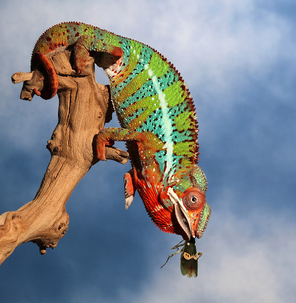 Chameleon Eating A Creobroter Mantis.jpg