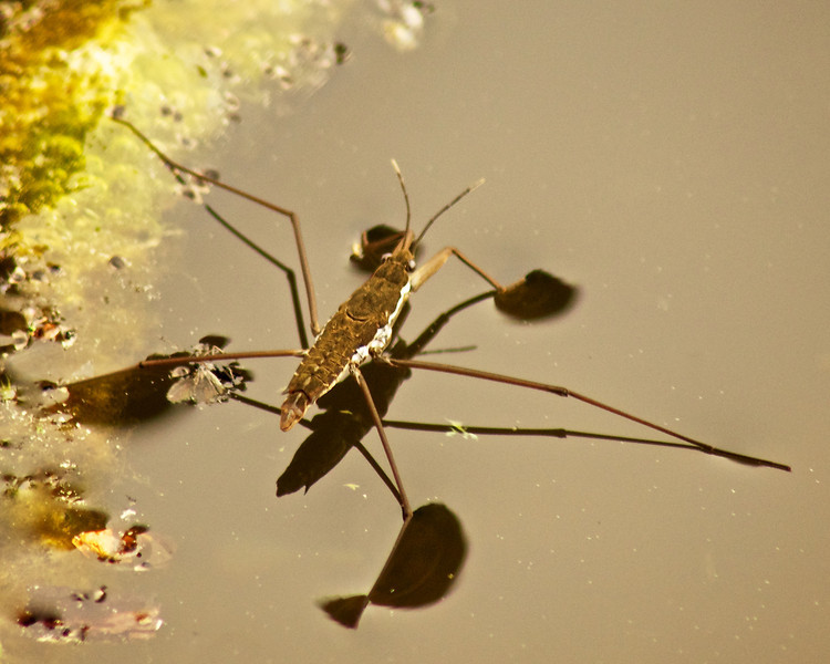 Water Strider, Alpine Lake, Fairfax, CA ref: 78f86ff8-8499-46f5-a1e2-8b744dc9ee41