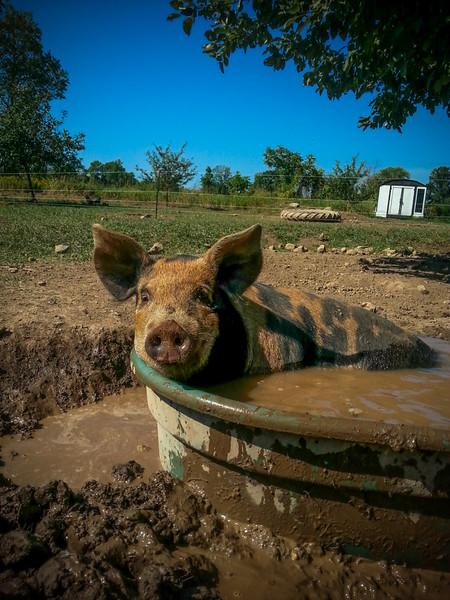 Pheasant Hill Farm Pig in Mud.jpg