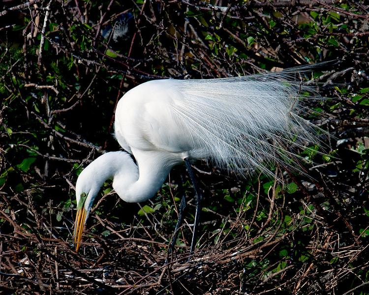 Great White  Heron_6739.jpg