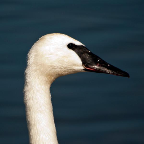 """Trumpeter Swan - """"Swan Profile"""""""
