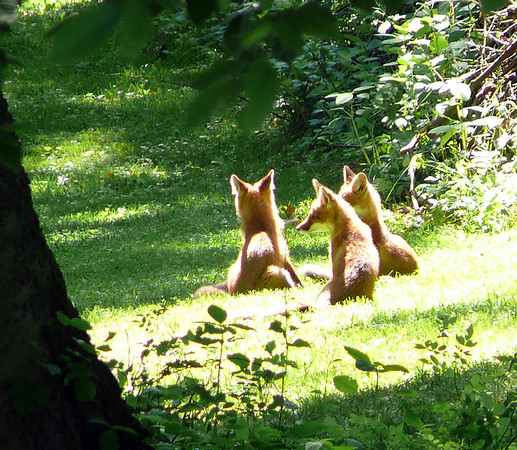 3 Little Foxes