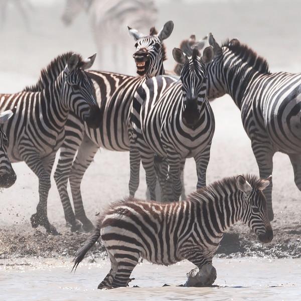 serengeti zebra smile 0430 square.jpg