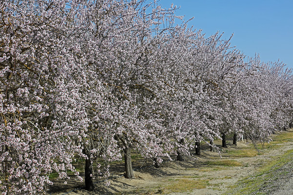 Almond Blossoms 2020