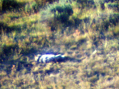 Male 113 observed through spotting scope, resting after feeding pups. Contributed by Linda Seaman