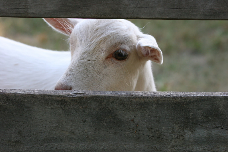 back yard goat in Vineland, NJ