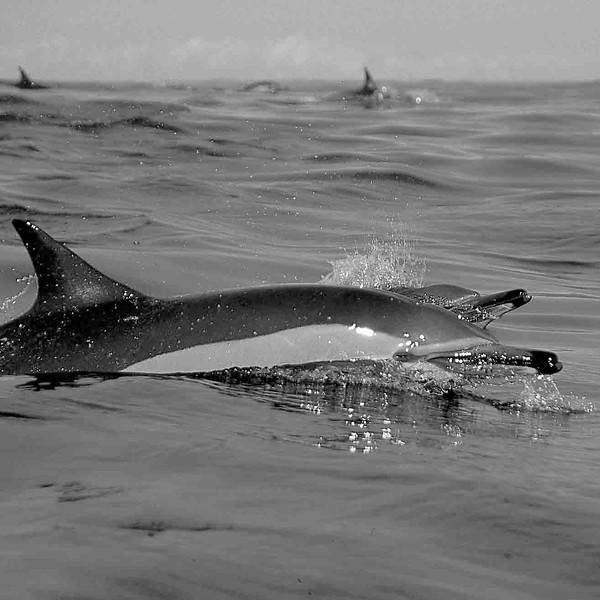 Dauphin commun 8 Delphinus delphis-Afrique du Sud_océan Indien.jpg