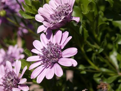 Osteospermum - Daisy 3D Pink