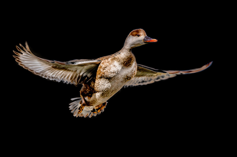 Female red-crested pochard in flight