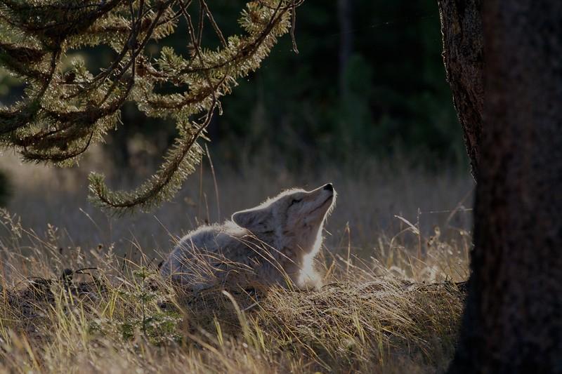 Coyote Yellowstone _MG_3821.jpg