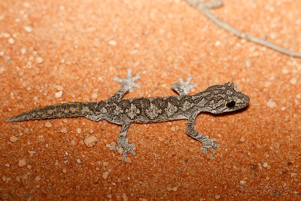 Western Spiny-tailed Gecko