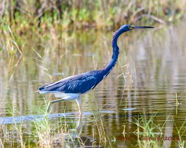 2018 06 28 Merritt Island National Wildlife Refuge Birds