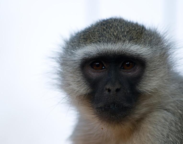 vervet monkeyDSC_3399.jpg
